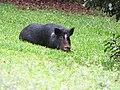 Starr-110408-4878-Macadamia integrifolia-habit with pig-Piiholo-Maui (24455550963).jpg