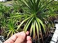 Starr-110524-5834-Argyroxiphium grayanum-in greenhouse-Haleakala National Park-Maui (24465363924).jpg