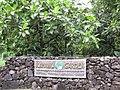 Starr-120606-6788-Artocarpus altilis-habit and sign-Kahanu Garden NTBG Hana-Maui (24776641759).jpg