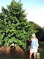 Starr-121108-0851-Annona muricata-habit with Angela-Pali o Waipio-Maui (25103262661).jpg