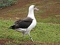 Starr-130318-2684-Ageratum conyzoides-habit with Laysan Albatross-Kilauea Pt NWR-Kauai (25089563582).jpg