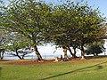 Starr-130320-3512-Terminalia catappa-habit with picnicers-Anini Beach-Kauai (25209288855).jpg
