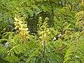Starr-140304-0033-Caesalpinia decapetala-flowers and leaves sprawling on peach tree-Kekaulike Hwy Kula-Maui (24614155763).jpg