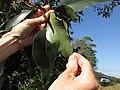 Starr-141229-0024-Syzygium cumini-leaves-Hoku Nui Piiholo-Maui (25250090335).jpg