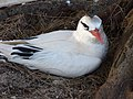 Starr-150326-0748-Casuarina equisetifolia-Red Tailed Tropicbird-Town Sand Island-Midway Atoll (25240560126).jpg