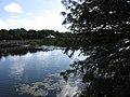 Starr-160717-5019-Taxodium distichum-variett imbircatum-Green Cay Nature Center Boynton Beach-Florida (29557162452).jpg