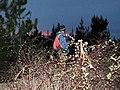 Starr-170225-7075-Rubus niveus-Forest with bat detector at night-Lower Waiohuli Trail Polipoli-Maui (33226189432).jpg