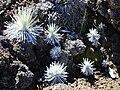 Starr 011003-0142 Argyroxiphium sandwicense subsp. macrocephalum.jpg