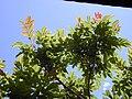 Starr 030418-0132 Rhus sandwicensis.jpg