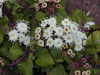 Starr 030419-0048 Ageratina adenophora