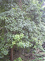 Starr 031108-2075 Bischofia javanica.jpg