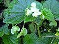 Starr 040209-0068 Begonia hirtella.jpg