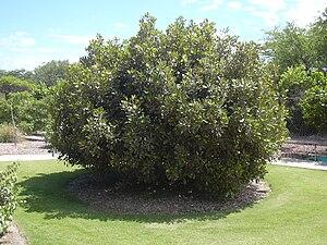 Nesoluma polynesicum - Image: Starr 040318 0033 Nesoluma polynesicum