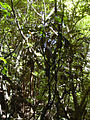 Starr 040601-0010 Alectryon macrococcus var. macrococcus.jpg