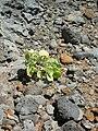 Starr 050419-6536 Chenopodium oahuense.jpg