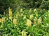 Starr 050817-3946 Hedychium gardnerianum.jpg