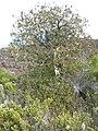 Starr 051004-8067 Santalum haleakalae.jpg