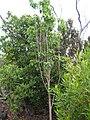 Starr 051105-8417 Nothocestrum latifolium.jpg