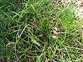 Starr 070118-3484 Cyperus gracilis.jpg