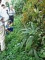 Starr 080304-3181 Syzygium jambos.jpg