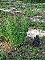 Starr 080531-4696 Chenopodium oahuense.jpg