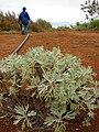 Starr 081230-0615 Artemisia australis.jpg