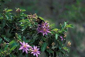 Starr 980529-4195 Grewia occidentalis.jpg