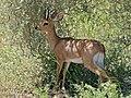 Steenbock (Raphicerus campestris) (6878190902).jpg