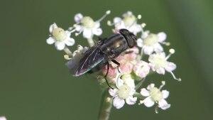 File:Stomorhina lunata - 2012-10-17.webm