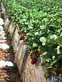 Strawberry fields in Carlsbad, April 2010, closeup.jpg