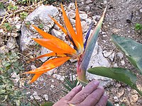 Strelitzia reginae from Kedumim 123.jpg