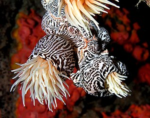 Sea anemone - Striped colonial anemone