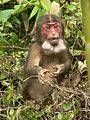 Stump tailed Macaque P1130751 14.jpg