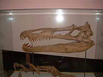 Suchomimus - Skull and claw cast