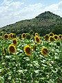 Sun flower field 3.jpg
