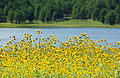Sunflowers at Lake Mary.jpg