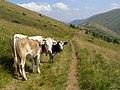 Svydovec, Styh, krávy.jpg