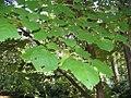 Syringa reticulata 7zz.jpg