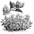 Tétragone cornue Vilmorin-Andrieux 1883.png