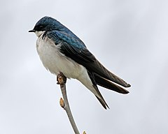 Tachycineta bicolor -Madison, Wisconsin, USA-8 (1).jpg