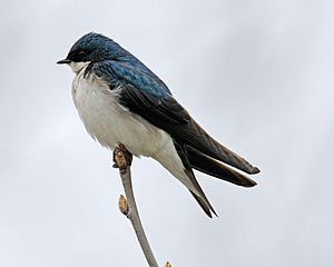 Tachycineta bicolor English: A Tree Swallow in...
