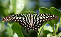 Tailed Jay (Graphium agamemnon).JPG