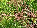Tamarix gallica02.jpg
