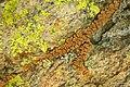 Tan Cobblestone Lichen (5037668277).jpg