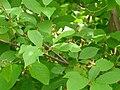 Taphrina pruni in Prunus padus.jpg