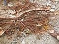 Tapis de racines de platane sous trottoir Platanus root mat under sidewalk Lille northern France 18.jpg