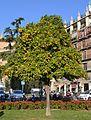 Taronger a la plaça de la Reina, València.JPG