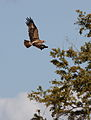 Tawny Eagle, Aquila rapax that we believe had caught a red billed buffalo weaver (Kruger National Park) (19989702949).jpg