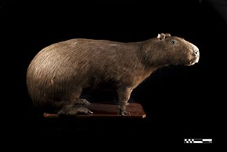 Capybara - Taxidermy specimen of a Capybara.