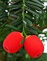 Taxus baccata. Texu (arilos).jpg
